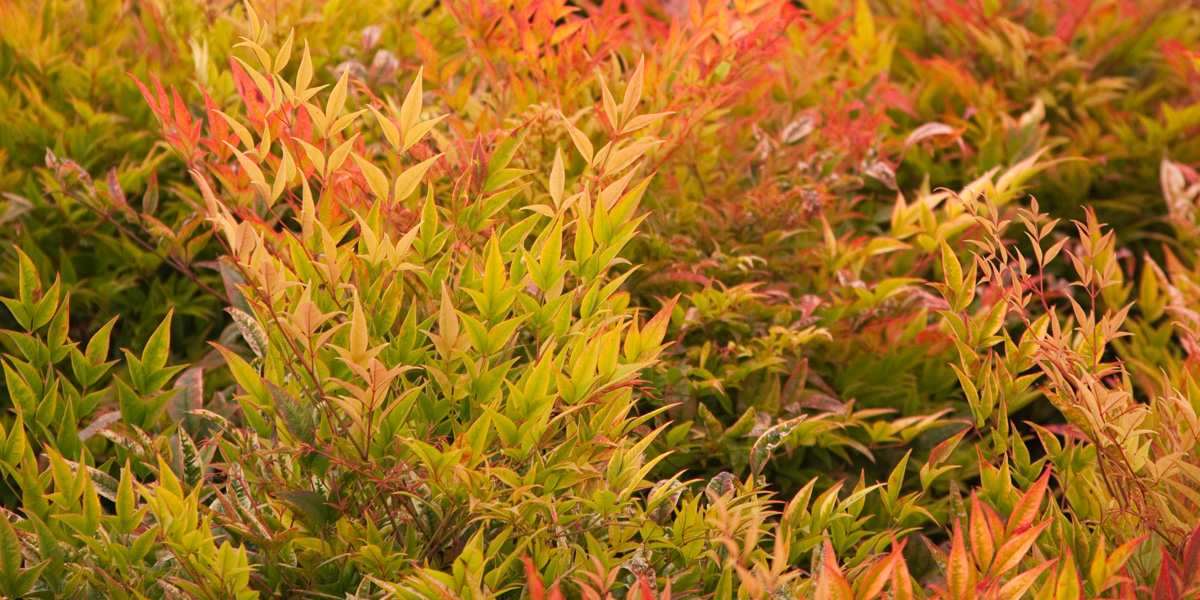 We Have Many Diffe Evergreen Shrubs Available For You In A Wide Variety Of Sizes All On Our Site If Don T See The Specific One Re Looking