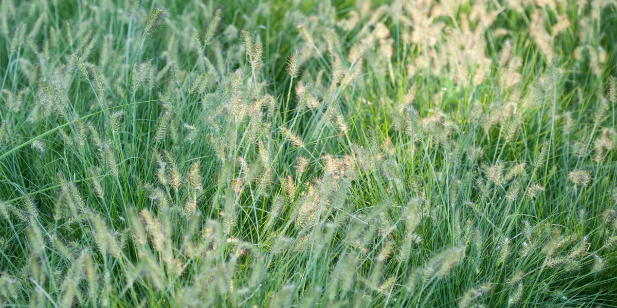 Grasses and grass like plants view list green thumb for Grass looking shrubs
